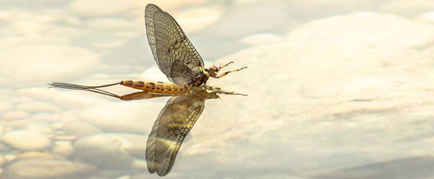Fly Fishing with Mayflies